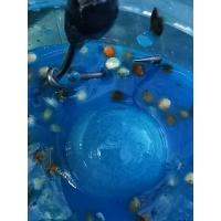 Liquid Soak Enhancer Blue Widow (100 ml Dose)